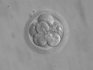 embryo__8_cells_-_week3_4rms